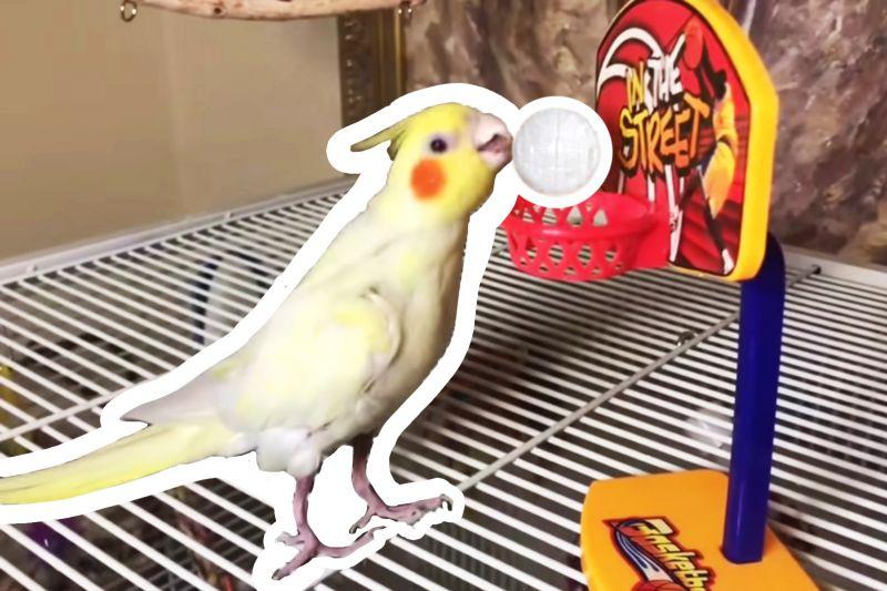 Jak nauczyć papugę grać w mini koszykówkę?